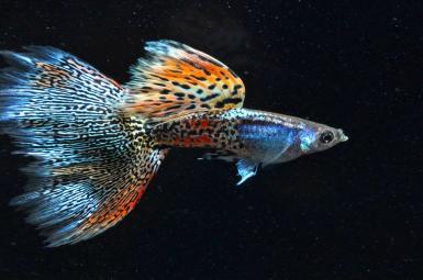 ماهیهای 'گوپی' در جزایر ترینیداد